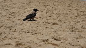 Posição do corvo na praia da areia vídeos de arquivo