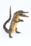 A posição do crocodilo Foto de Stock Royalty Free