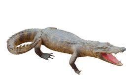 Posição do crocodilo do close up no fundo branco, espaço da cópia foto de stock royalty free