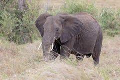 Posição do elefante africano na grama longa em Masai Mara, Kenya fotos de stock royalty free