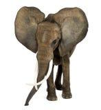 Posição do elefante africano, orelhas acima, isolado Fotografia de Stock