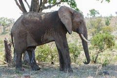 Posição do elefante na máscara de uma árvore alta em um dia ensolarado imagens de stock