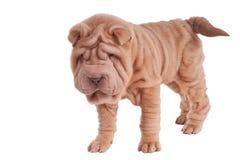 Posição do filhote de cachorro de Shar-pei Fotografia de Stock