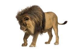 Posição do leão, olhando para baixo, Leão do Panthera, 10 anos velho Imagens de Stock Royalty Free