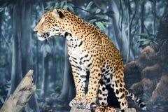Posição do leopardo Fotografia de Stock