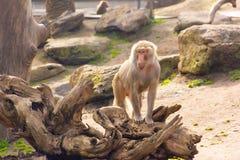 Posição do macaco Imagens de Stock Royalty Free