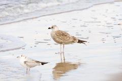 Posição do pássaro da gaivota Foto de Stock
