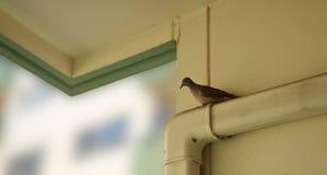 posição do pássaro do pombo foto de stock royalty free