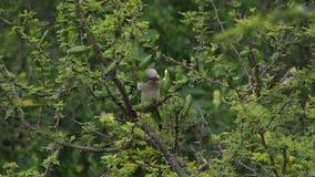 Posição do papagaio em uma árvore do espinillo vídeos de arquivo