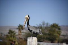 Posição do pelicano de Brown Imagem de Stock Royalty Free