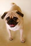 Posição do Pug Fotografia de Stock