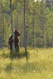 Posição do urso Imagem de Stock Royalty Free
