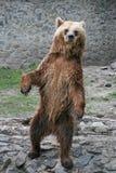 Posição do urso de Brown imagem de stock royalty free