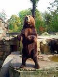 Posição do urso de Brown Foto de Stock Royalty Free