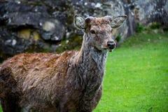 Posição dos cervos vermelhos Fotografia de Stock Royalty Free
