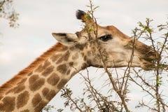 Posição e comer principais do close-up do girafa imagem de stock