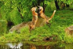 Posição e luta da raposa vermelha Fotos de Stock Royalty Free