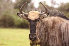 Posição e olhar fixamente de Wildebeast Fotografia de Stock Royalty Free