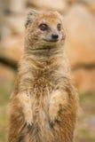 Posição e olhar fixamente do mangusto Foto de Stock