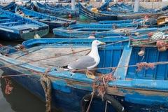 Posição em um barco azul típico em um porto de pesca de Essaouira, Marrocos da gaivota foto de stock royalty free