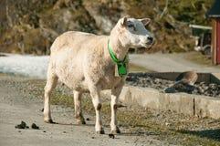 A posição em uma ovelha da estrada com um sino em seu pescoço Fotografia de Stock Royalty Free