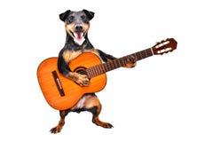 Posição engraçada de Jagdterrier da raça do cão com guitarra acústica imagem de stock