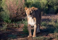Posição fêmea da leoa na escova fotos de stock royalty free