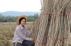 Posição fêmea do fazendeiro com membro das tapiocas que cortou a pilha junto na exploração agrícola foto de stock