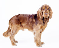 Posição inglesa do cão do spaniel de cocker, o 1 anos de idade Fotos de Stock Royalty Free
