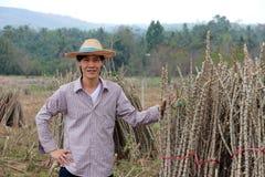 A posição masculina do fazendeiro com akimbo e uma mão travam o membro da planta de tapiocas que corta a pilha junto na exploraçã fotografia de stock royalty free