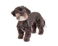 Posição pequena do cão da raça misturada alerta fotos de stock
