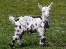 Posição pied Dalmatian nova da cabra na grama, reto e alto principais, orelhas largamente, pés pretos fotos de stock
