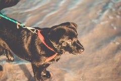 Posição preta bonita de labrador retriever na praia com uma coleira de cão fotografia de stock