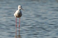 posição Preto-voada do pernas de pau na área intertidal litoral fotografia de stock royalty free