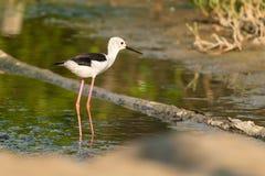 posição Preto-voada do pernas de pau na área intertidal litoral foto de stock royalty free