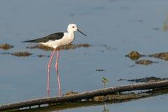 posição Preto-voada do pernas de pau na área intertidal litoral foto de stock