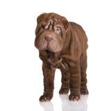 Posição shar marrom adorável do cachorrinho do pei fotos de stock royalty free