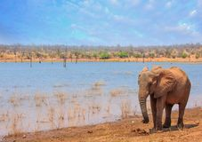 Posição solitária do elefante africano na linha costeira de lago Kariba com um contexto cênico do lago e do céu imagens de stock royalty free