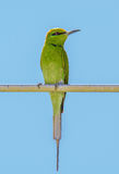 Posição verde pequena do comedor de abelha Imagem de Stock Royalty Free