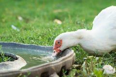 Posiłek biała kaczka Zdjęcie Royalty Free