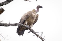 Posi??o africana do abutre sobre um ramo foto de stock royalty free