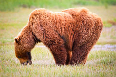 Posi??o e comer do urso de Alaska Brown fotografia de stock royalty free