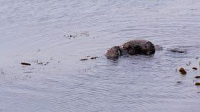 posibilidad muy remota de la alimentación de las nutrias de mar almacen de video