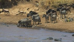 Posibilidad muy remota de la cebra que bebe del río de Mara en reserva del juego de Mara del masai metrajes