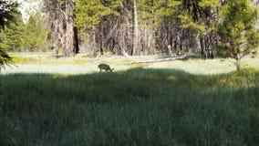 posibilidad muy remota de un ciervo mula en un prado almacen de video