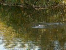 Posibilidad muy remota de una natación del ornitorrinco en un río foto de archivo libre de regalías