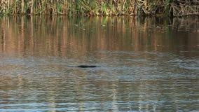 Posibilidad muy remota de una natación salvaje del ornitorrinco en un río en Tasmania almacen de video
