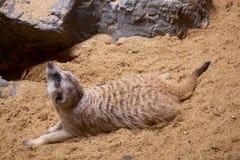 Posición de reclinación del meerkat fotos de archivo