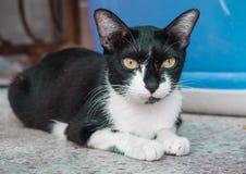 Posición sentada aseada del gato adulto Imagen de archivo