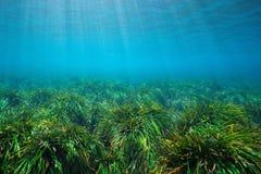 Posidonia oceanica erboso del mar Mediterraneo del fondale marino fotografie stock libere da diritti